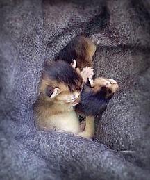 Abyssinian cat, Abinest, Питомник абиссинских кошек, новорожденный абиссинский котенок