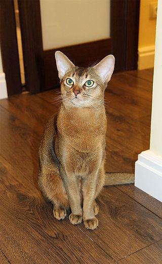 Abyssinian cat, Abinest, Питомник абиссинских кошек