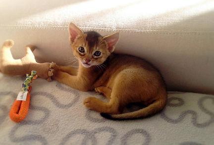 Abyssinian cat, Abinest, Питомник абиссинских кошек, абиссинский котенок