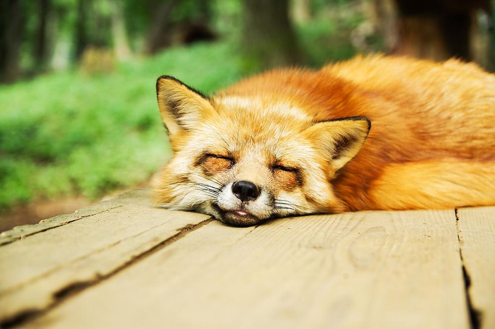 Fox sleeping on wooden floor