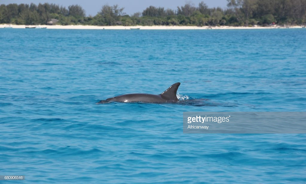 Dolphins can be spotted near Mkoma Bay Tented Lodge hotel near Pangani in Tanzania