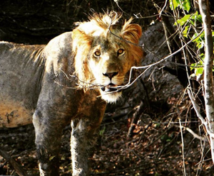 Lion in national Park Tanzania- Mkoma Bay Tented Lodge