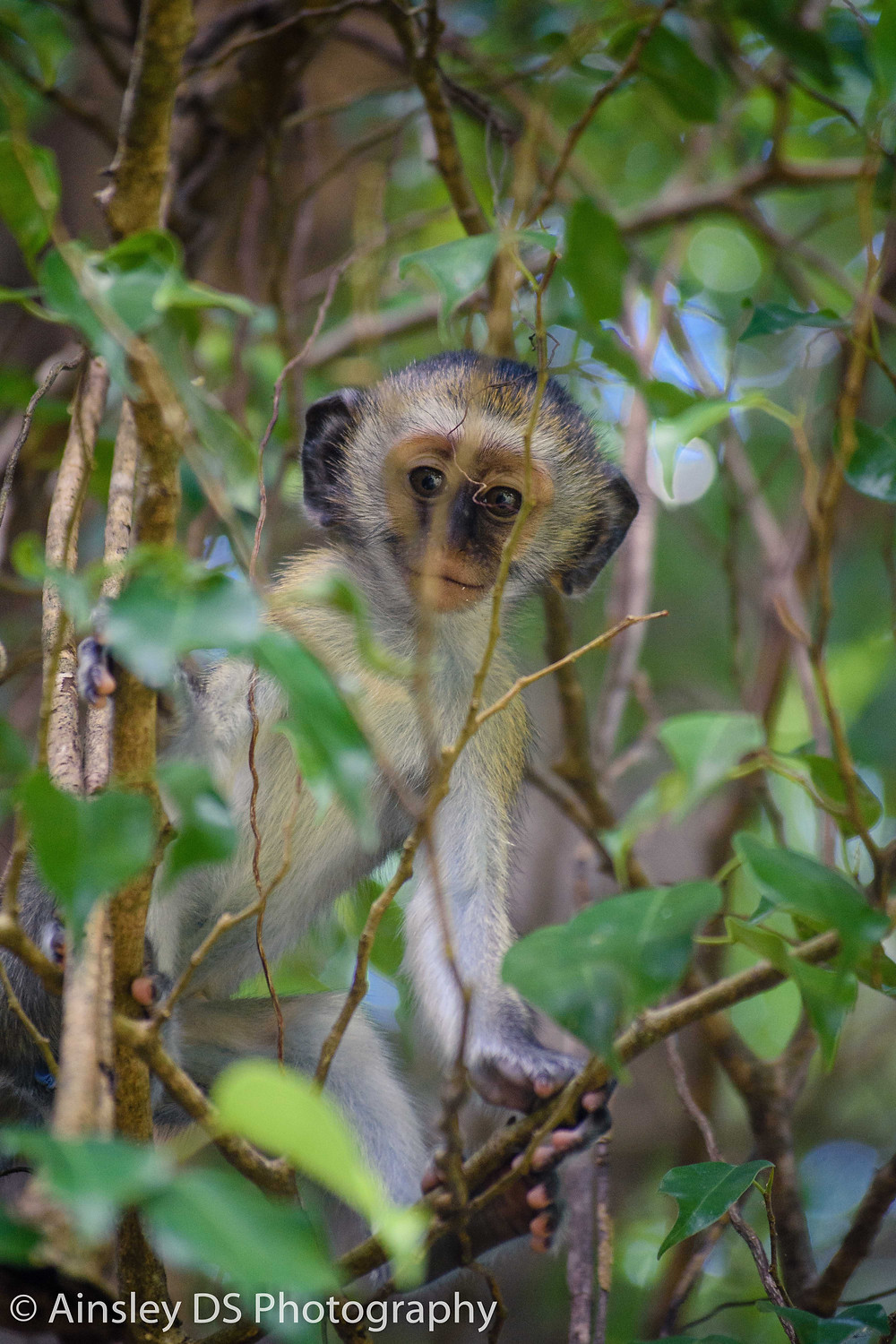 Vervet Monkey at Mkoma Bay Tented Lodge hotel near Pangani. Ainsley Ds Photography