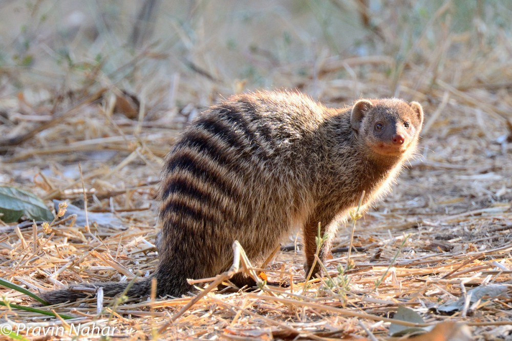 Banded Mongoose can be found at Mkoma Bay Tented Lodge hotel near Pangani Town Tanzania