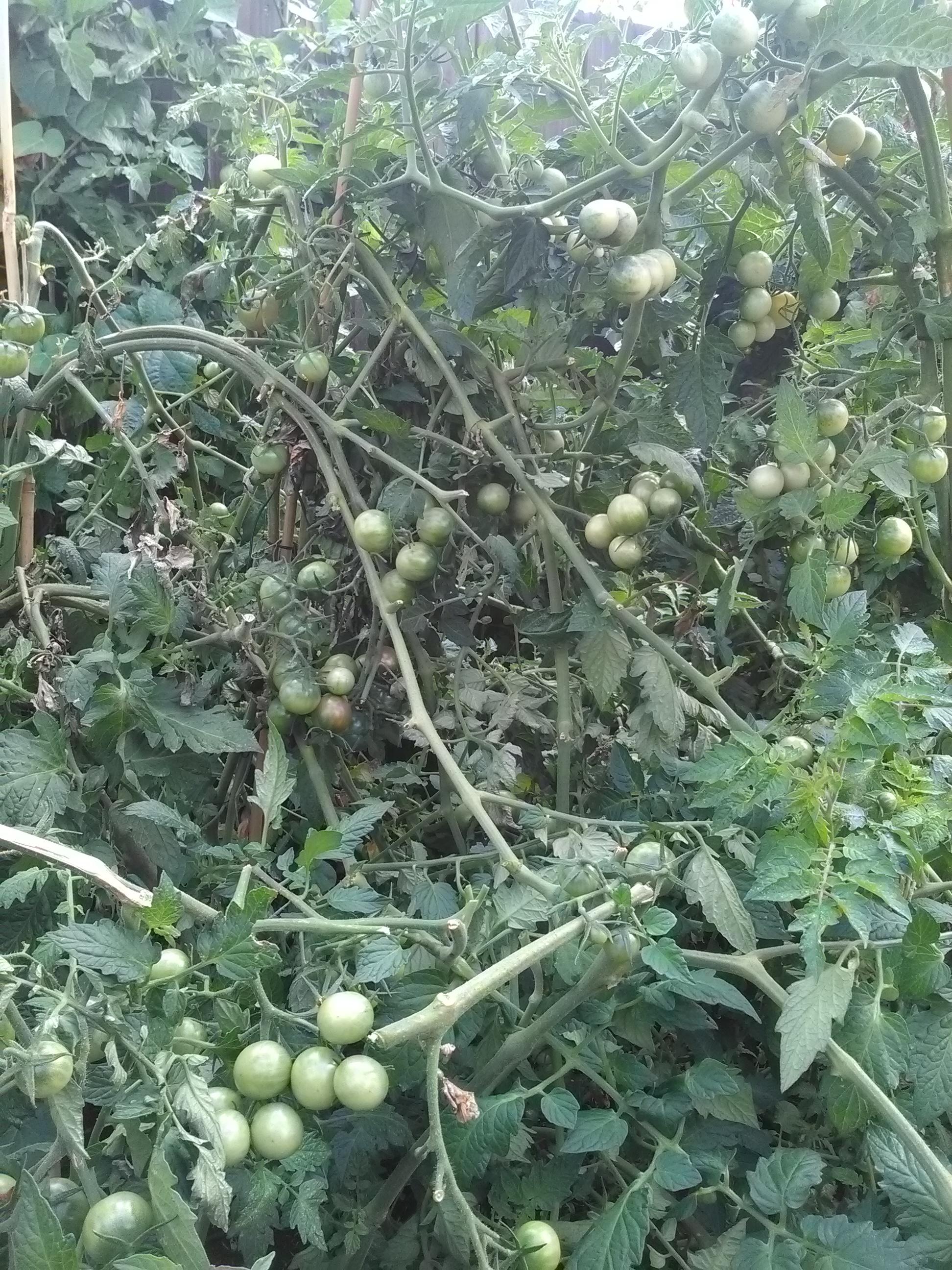 Encore pas mal de tomate à venir!