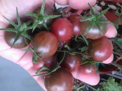 Récolte de Black Cherry