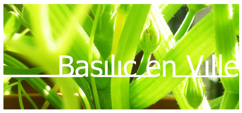 Célia Sammane Agriculture urbaine Basilic en ville