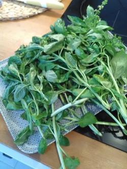 Grosse récolte de basilic