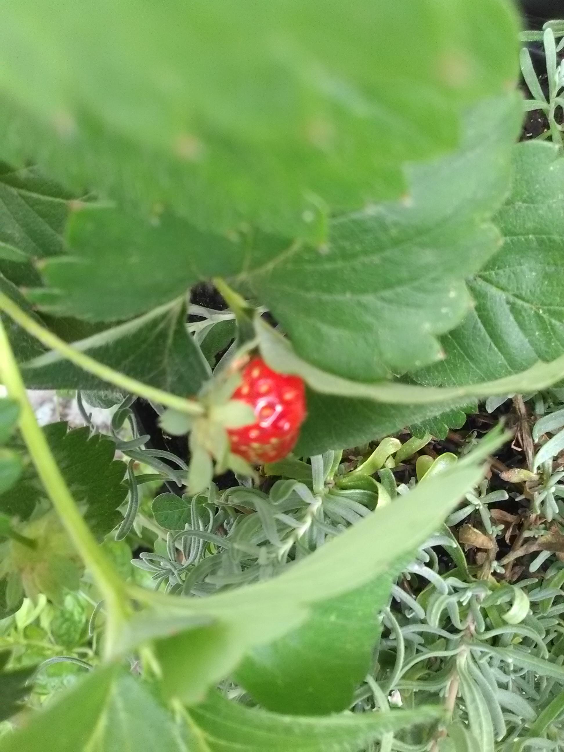 1ère fraises de ce fraisier