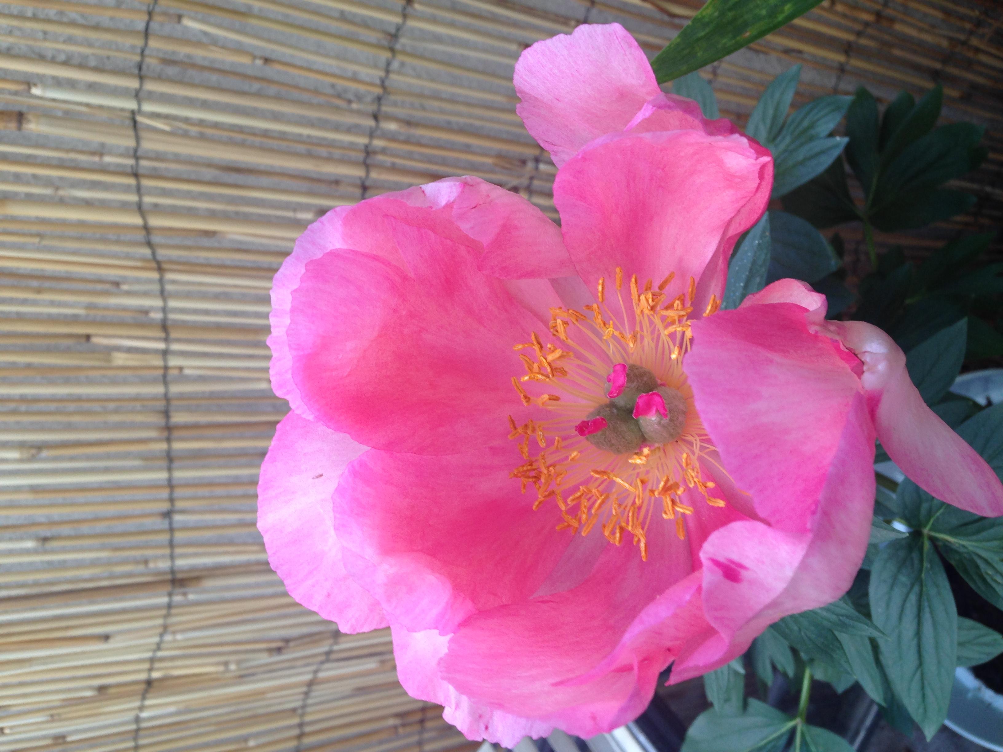 Pivoine en fleur