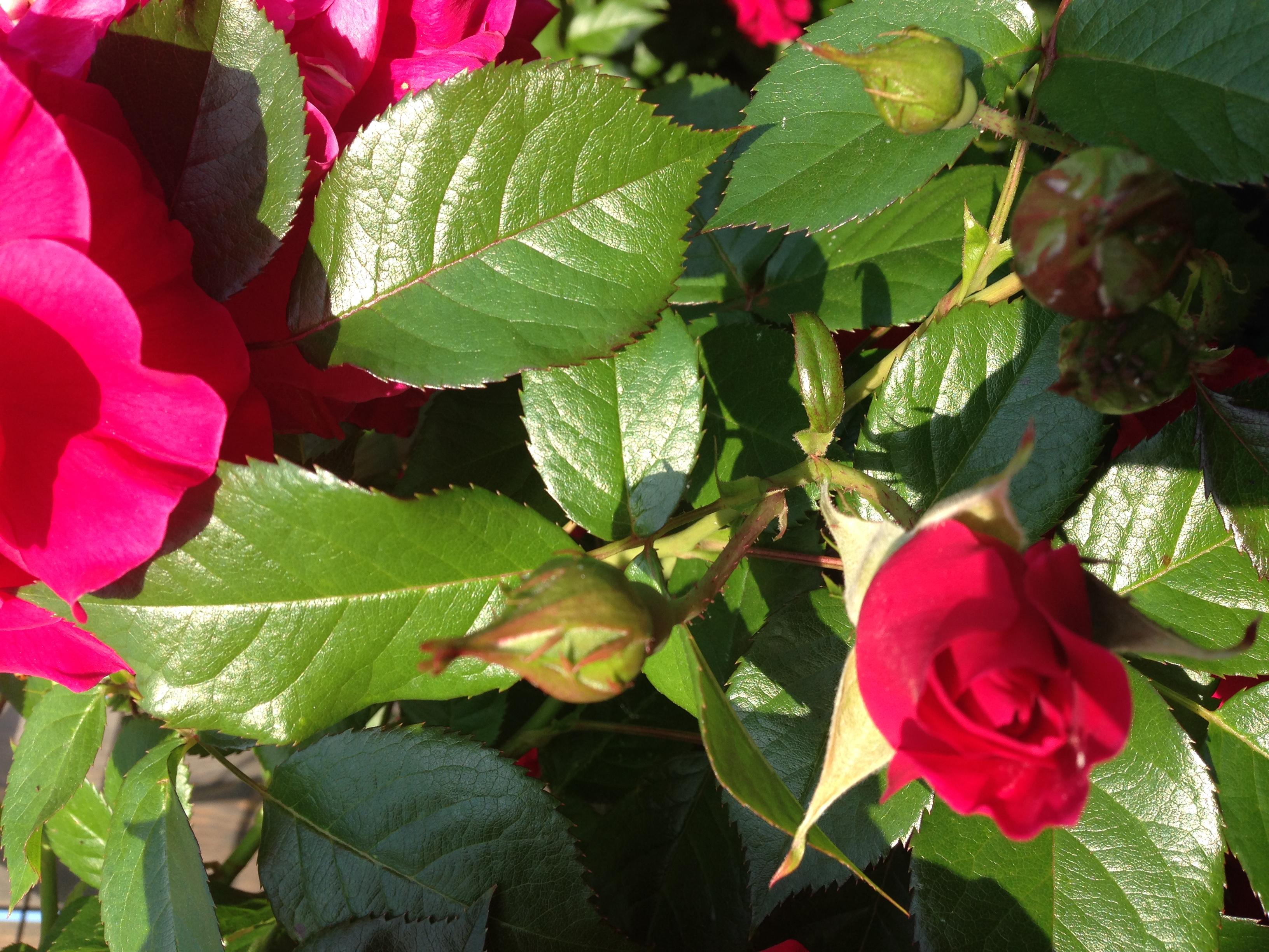 J'ai accueilli des rosiers!