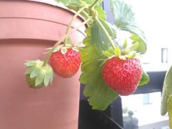 Elles sont pas belles nos fraises?!