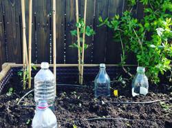 Semis sous bouteille
