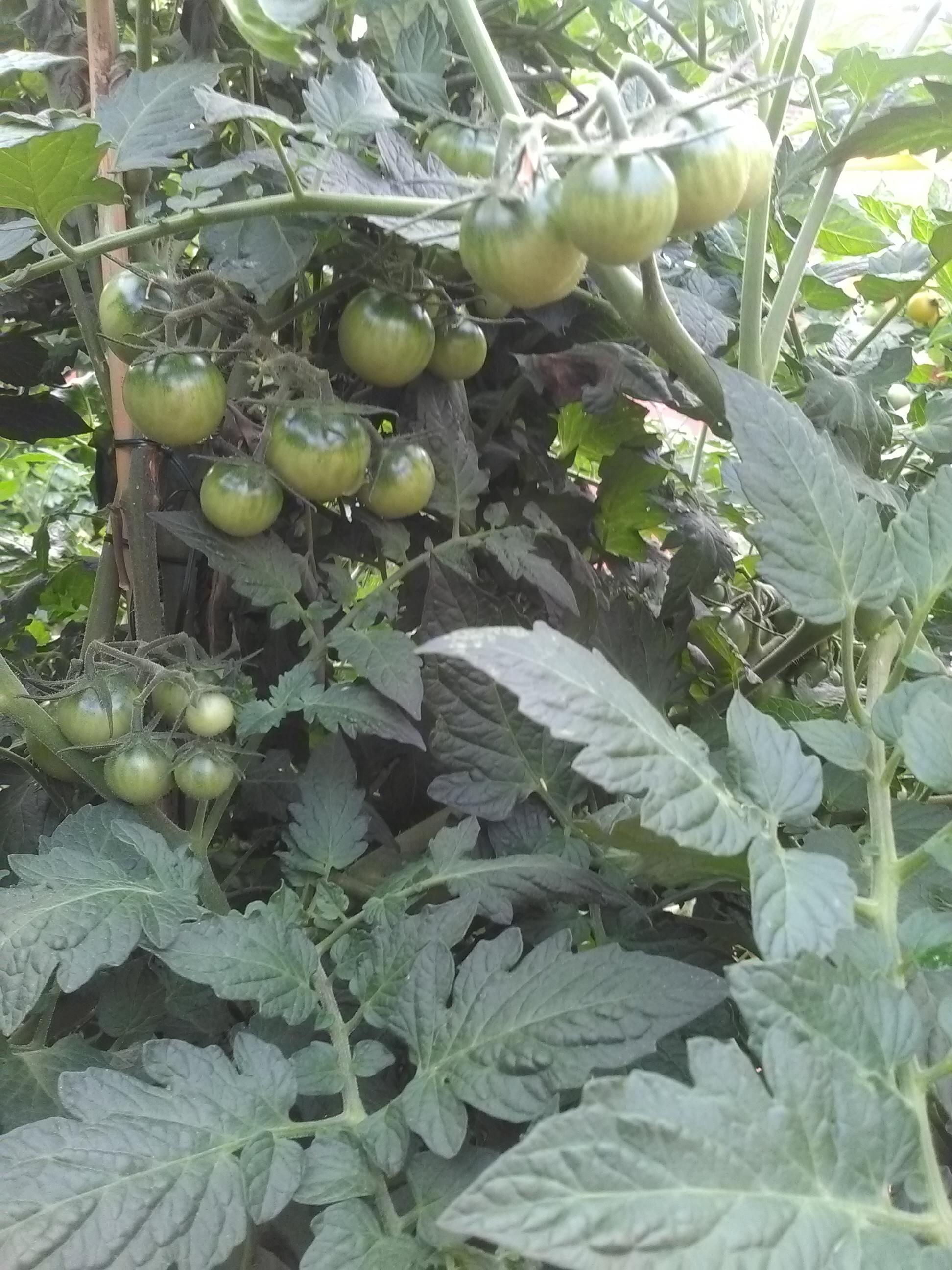 Tomates à venir