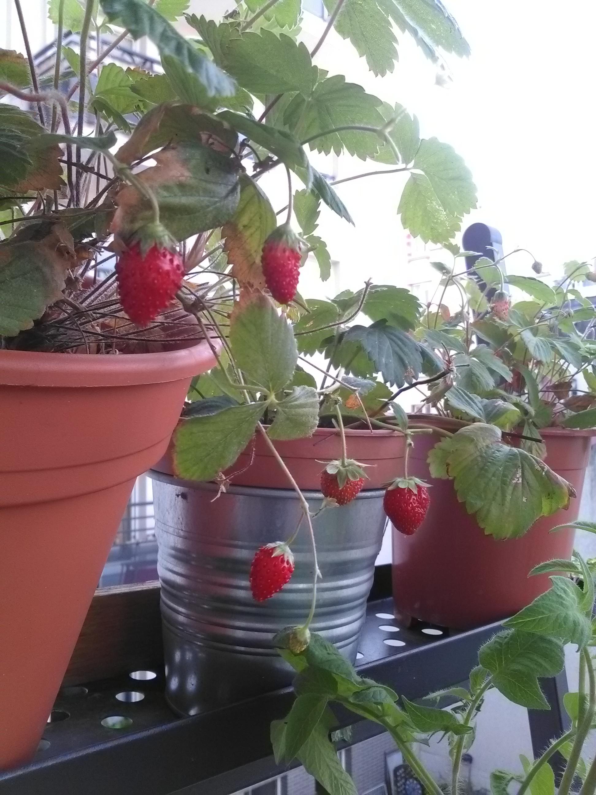 Des fraises à gogo