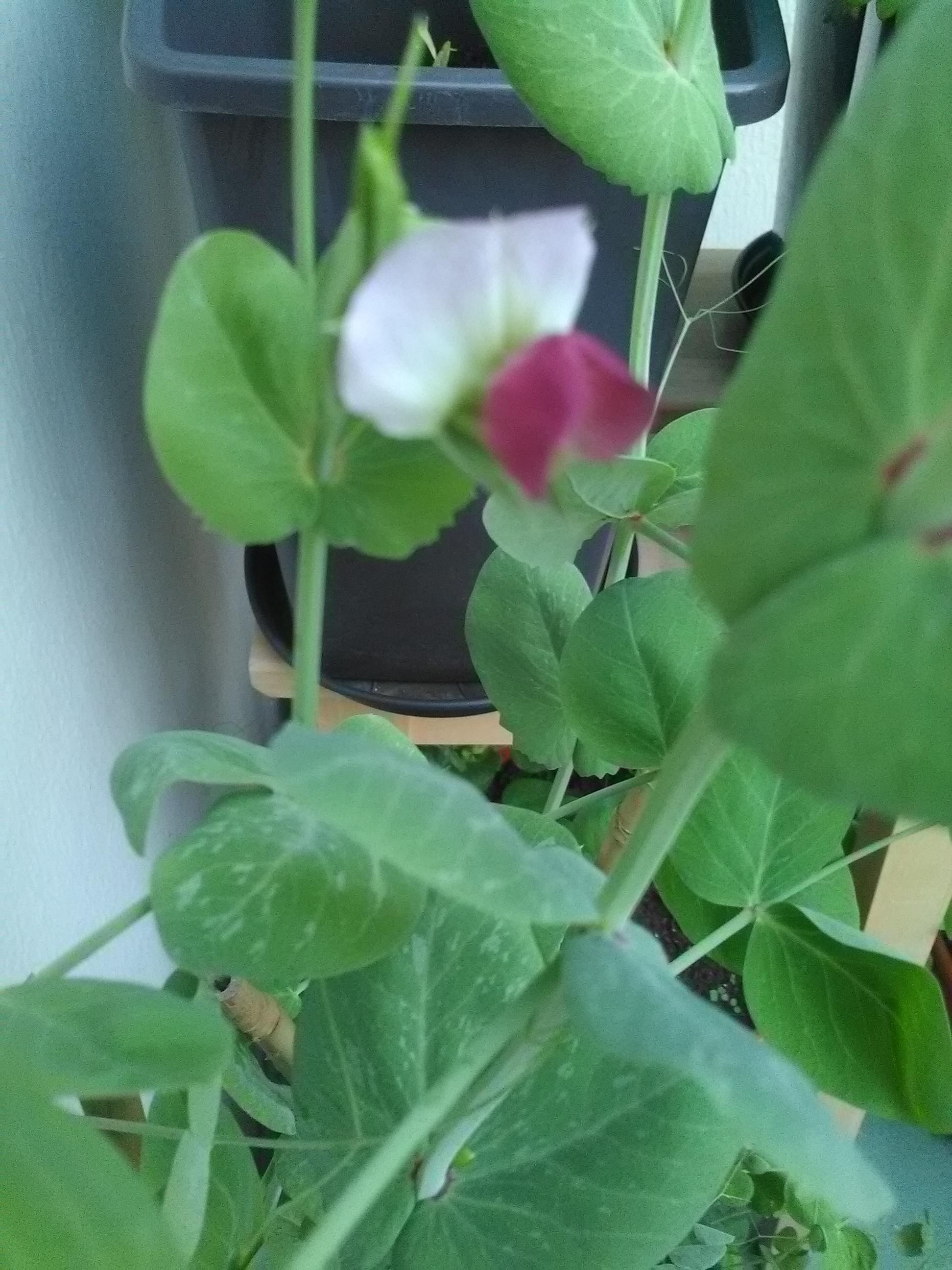 Fleurs de pois capucine