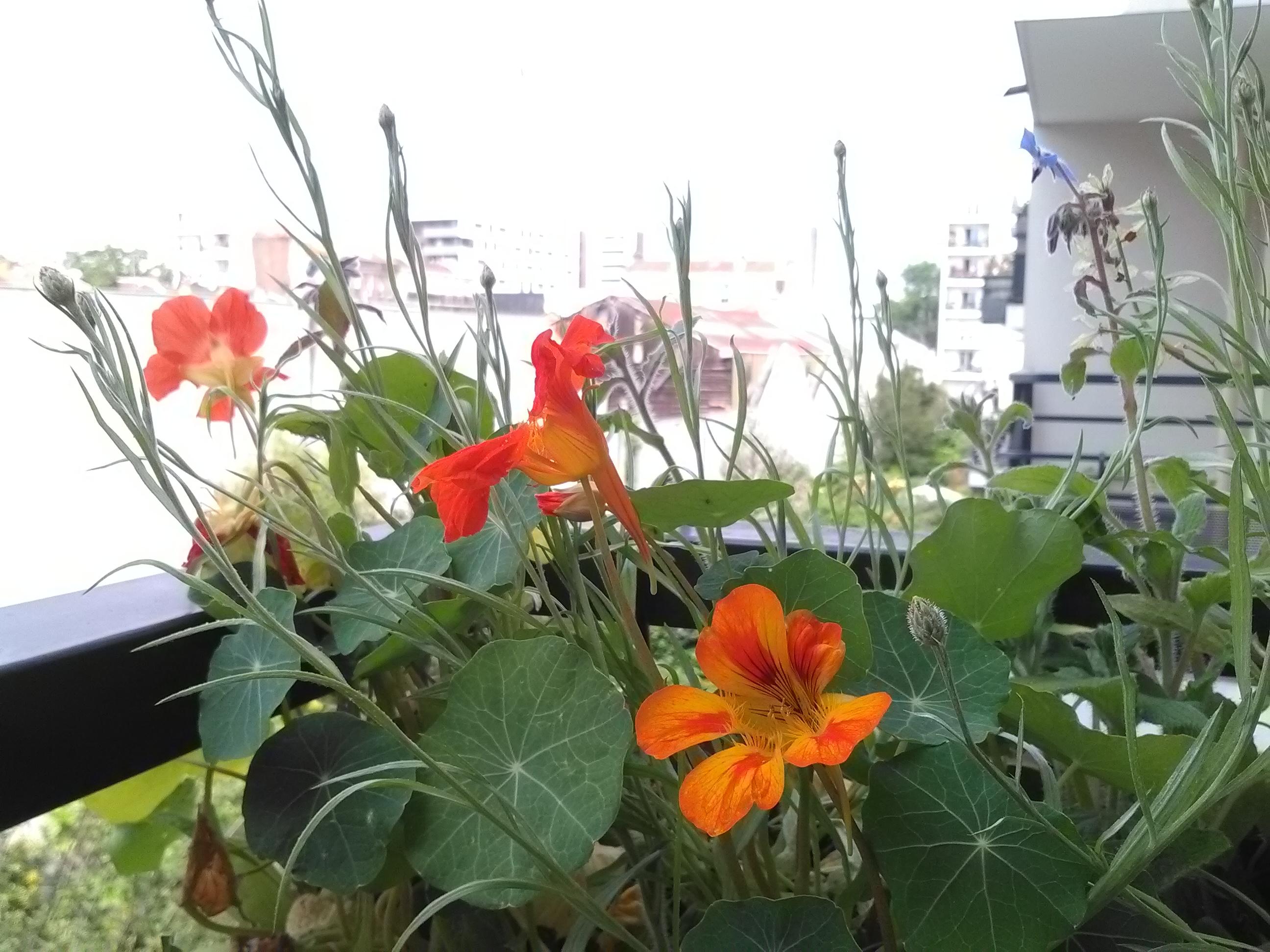 Mélange de fleurs comestibles