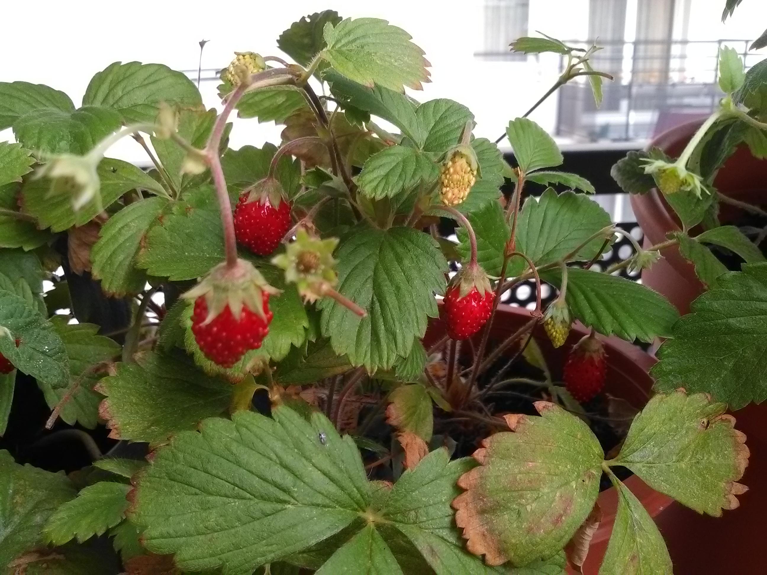 Nos fraises des bois