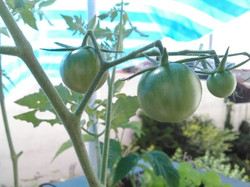 Tomate et canicule!