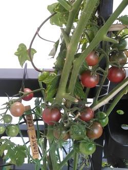 Encore de belles tomates!