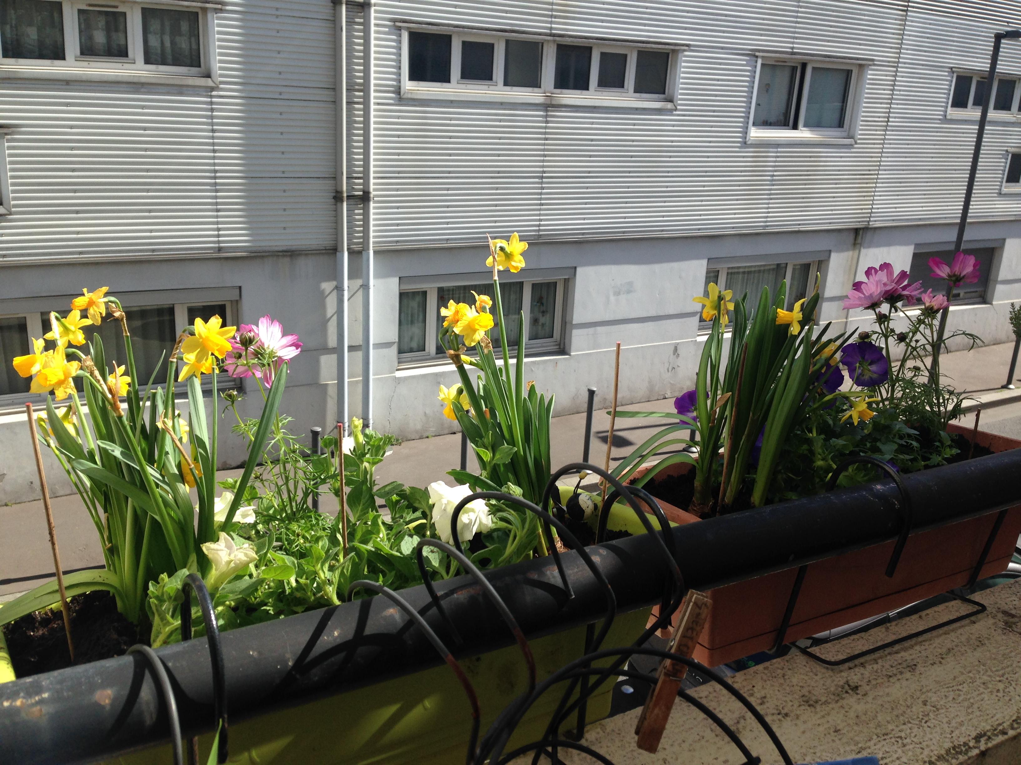 Jonquilles au balcon