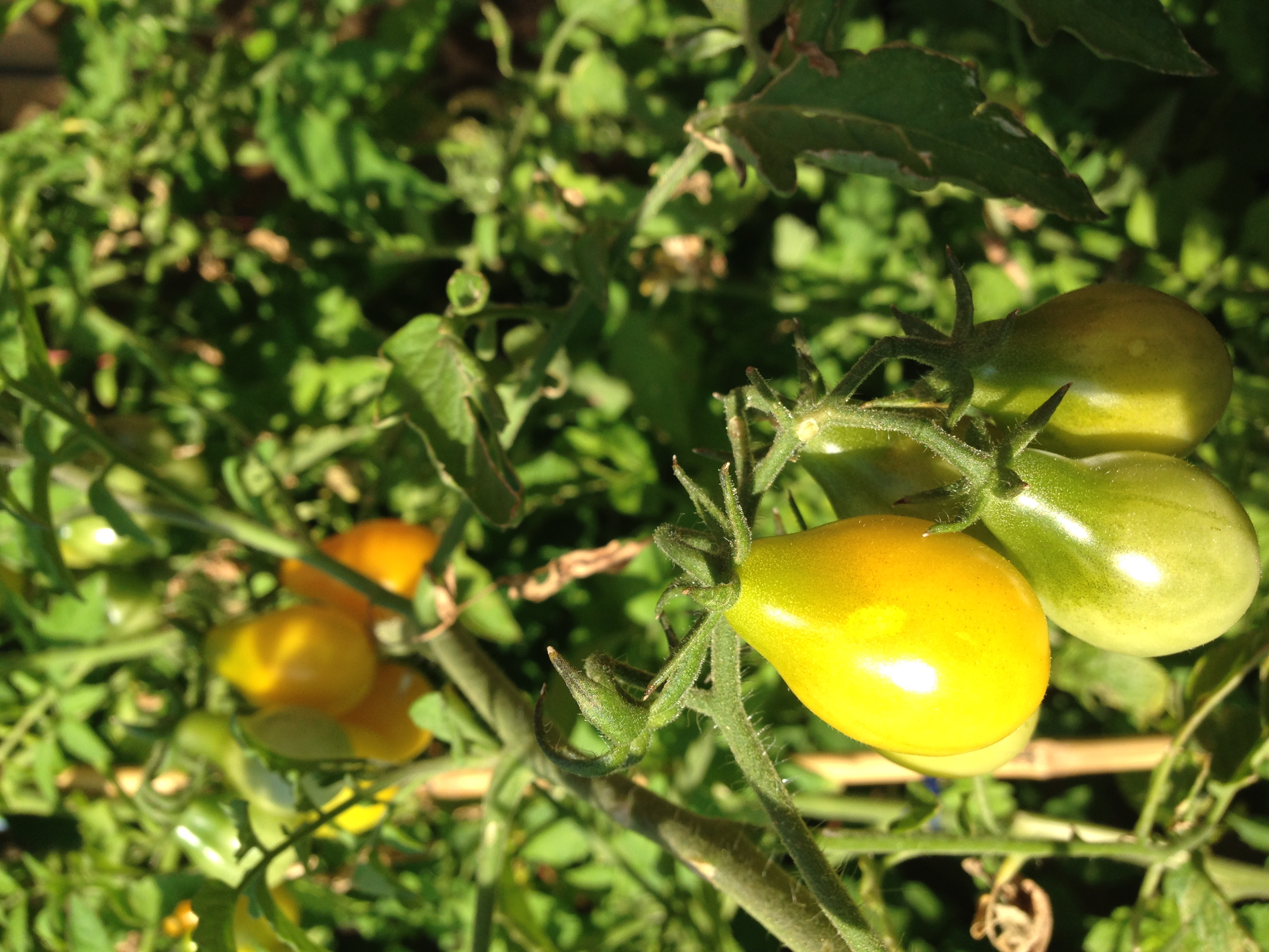 Tomate poire