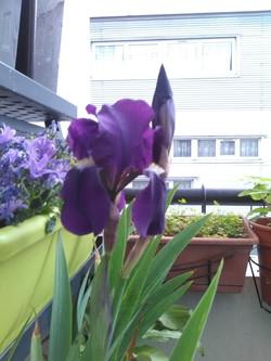 De belles iris