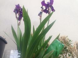 Iris Basilic en Ville