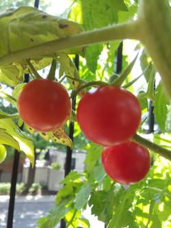 Tomates cerises bien rouges
