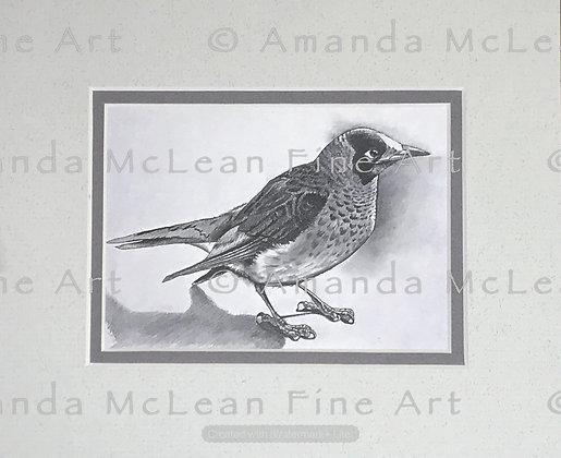 Noisy Miner, Small Matted Print