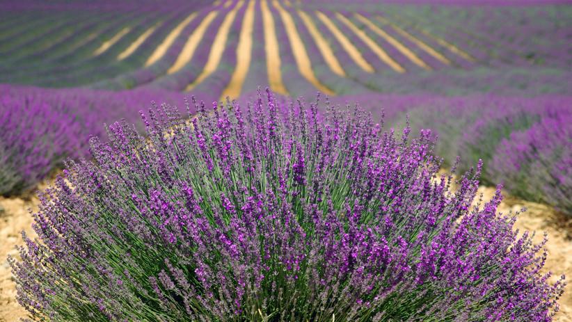 lavenders-894919.jpg