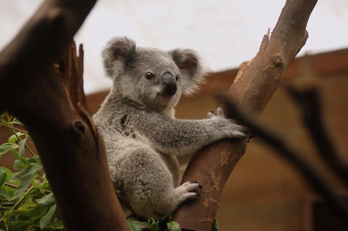koala-3055832.jpg