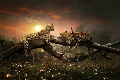 leopard03.jpg