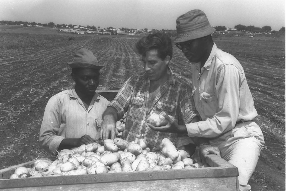 חקלאי ישראלי מסייע בהכשרת עובדים מגאנה בקיבוץ רמת יוחנן, ב-1965. ישראל נחשבת מובילה עולמית בחקלאות