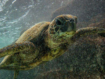Turtle Shoot at Kua Bay