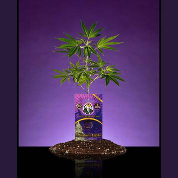 Purple-SeedKing-Clone-Photo-web.jpg