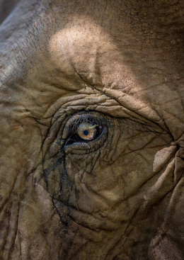 Elephants of Thailand Meadow's Eye