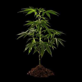Rude-Boi-Clone-Plant-web.jpg