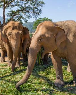 Elephants of Thailand Feeding