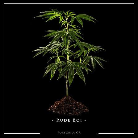 Rude-Boi-Clone-Plant-Named-Web.jpg