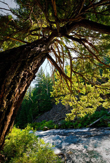 Pacific Northwest Metolious Shade