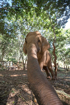 Elephants of Thailand Selfie