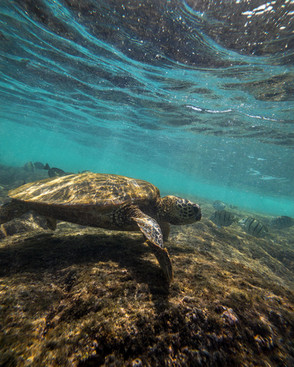 Hawaii Green Sea Turtle