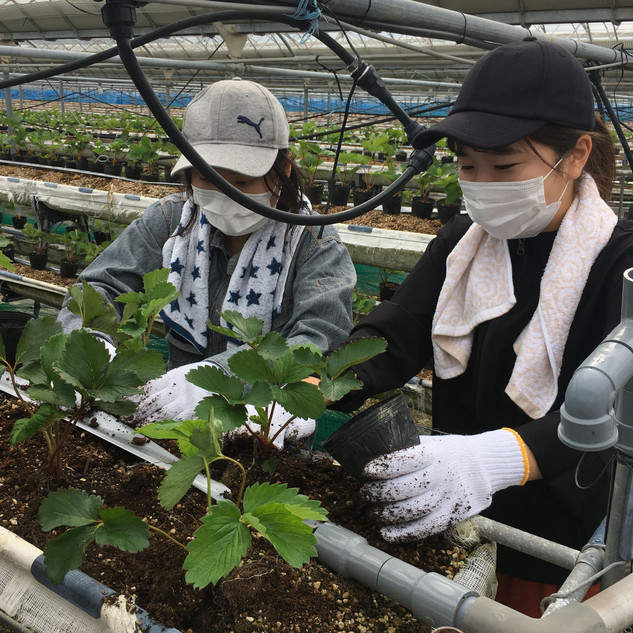 ひなたいちご園:定植作業