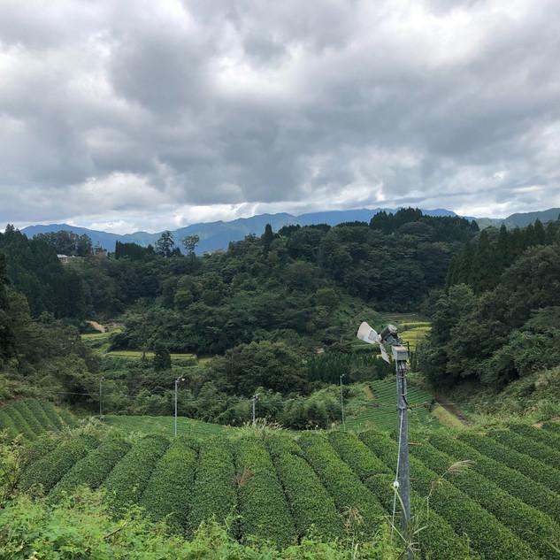 宮崎茶房(五ヶ瀬町):一面に広がるお茶農園