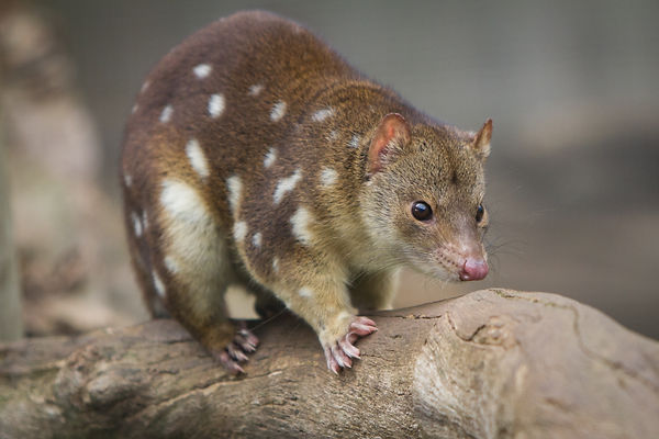 spotted quoll (002).jpg