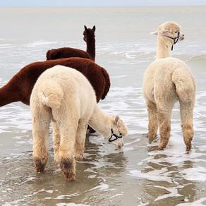 Walking with Alpaca's