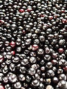 100% natural hand-picked, wild foraged fresh elderberries for our natural low sugar, gluten free elderberry syrup (sambucus nigra), full of naatural vitamins and minerals. flu cure, immune boost, natural tamiflu, lower cholesterol and helps weight loss. fight disease with dol rosa canina elderberry syrup