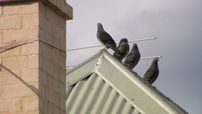 THIS IS FOR THE BLEEPING BIRDS! - A Poopy Pigeon Poetry Interlude