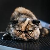 стрижка вычесывание кошек мытье кошек зоосалон крестовский